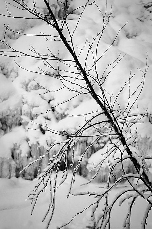 Tree - Duchesnay Falls - North Bay