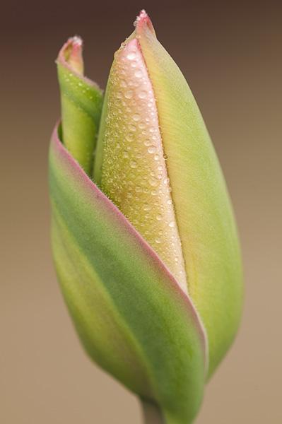 Tulip - North Bay