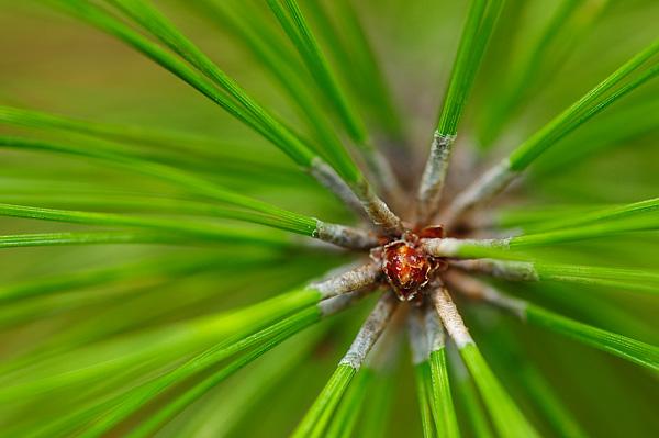 Pine Needles - Temagami