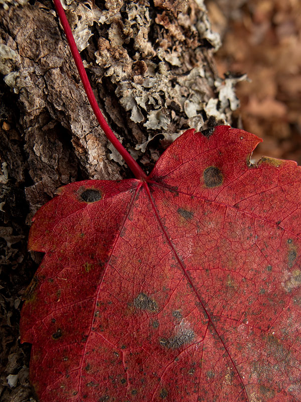 Maple Leaf - North Bay - Ontario