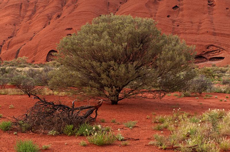 Tree - Uluru - Australia