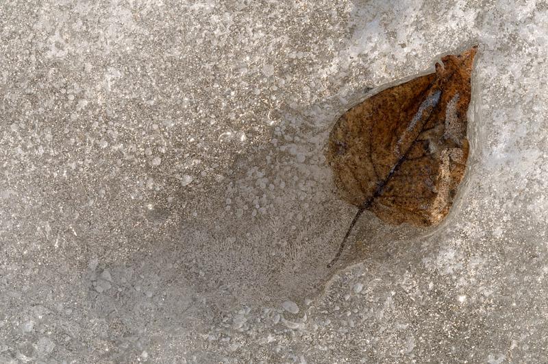 Leaf in Ice - Lake Nipissing - North Bay