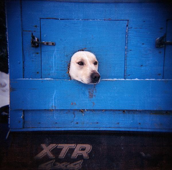Sled Dog - Kearney - Ontario