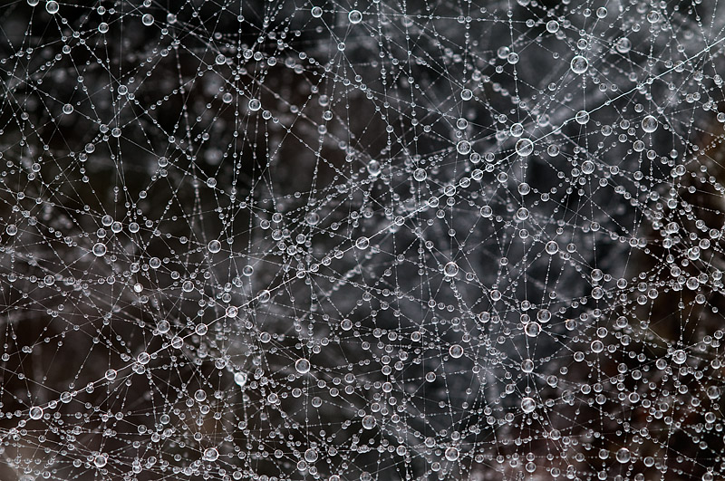 Dew Drops on Spider Web - Temagami - Ontario