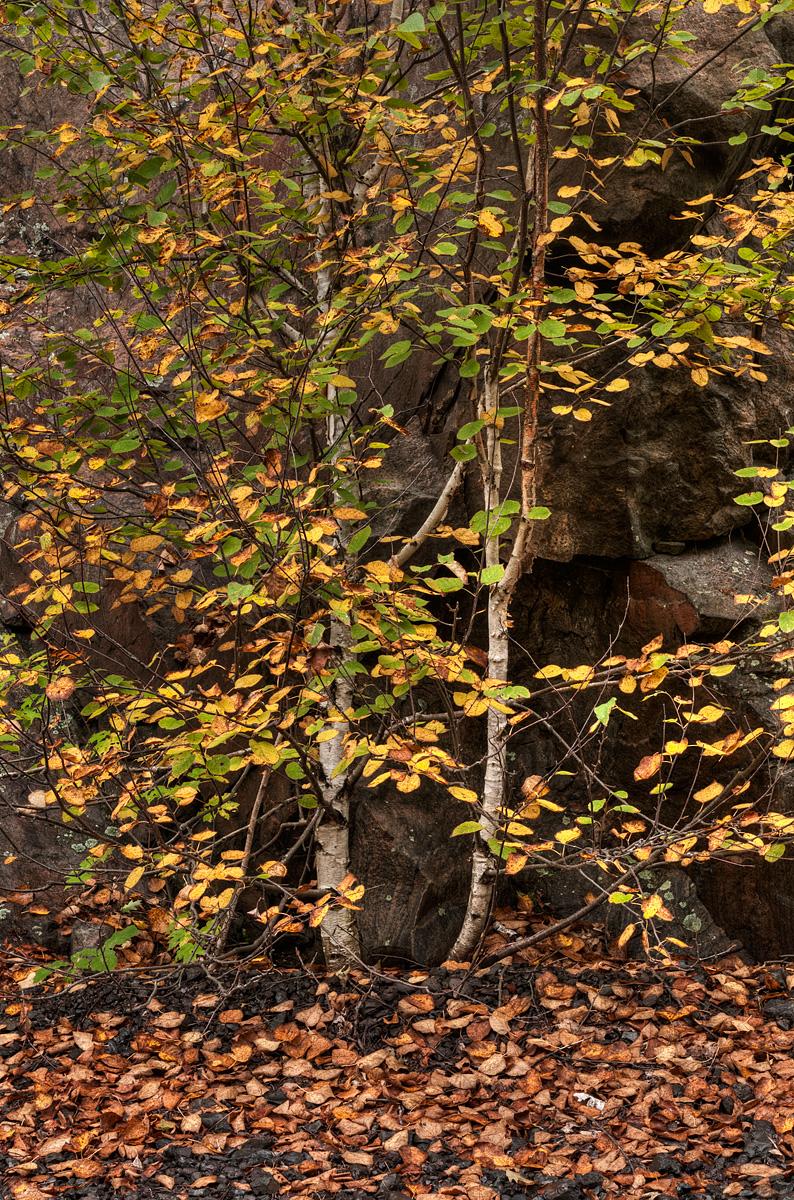 Birch - Algonquin Park - Ontario