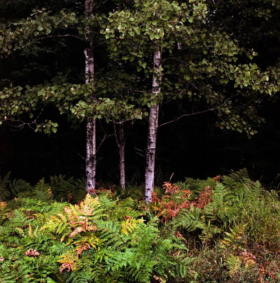 Birch Trees - North Bay - Ontario