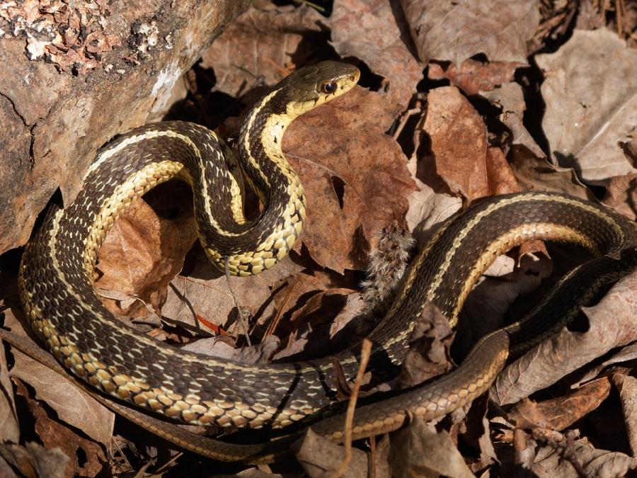 Common Garter Snake - North Bay - Ontario