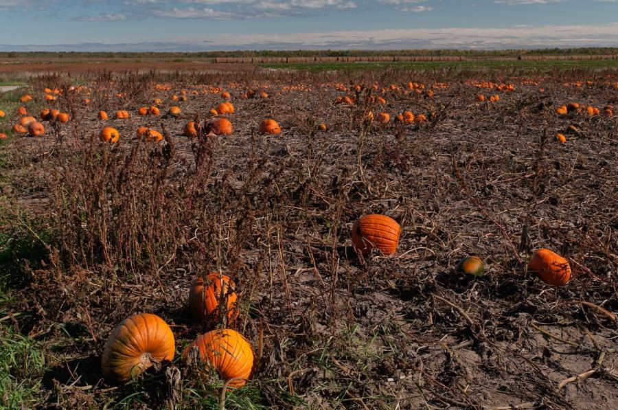 Pumpkins - Sturgeon Falls - Ontario