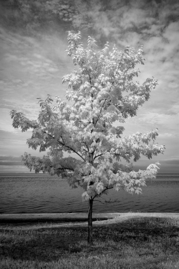 Maple Tree - North Bay - Ontario