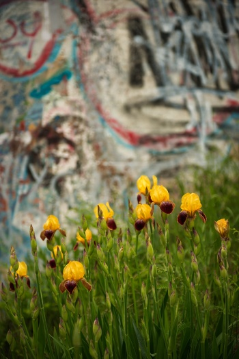 Irises - North Bay - Ontario